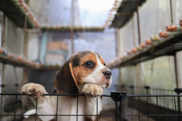 Een schattige beagle puppy proberen om uit te klimmen uit de kooi. foto