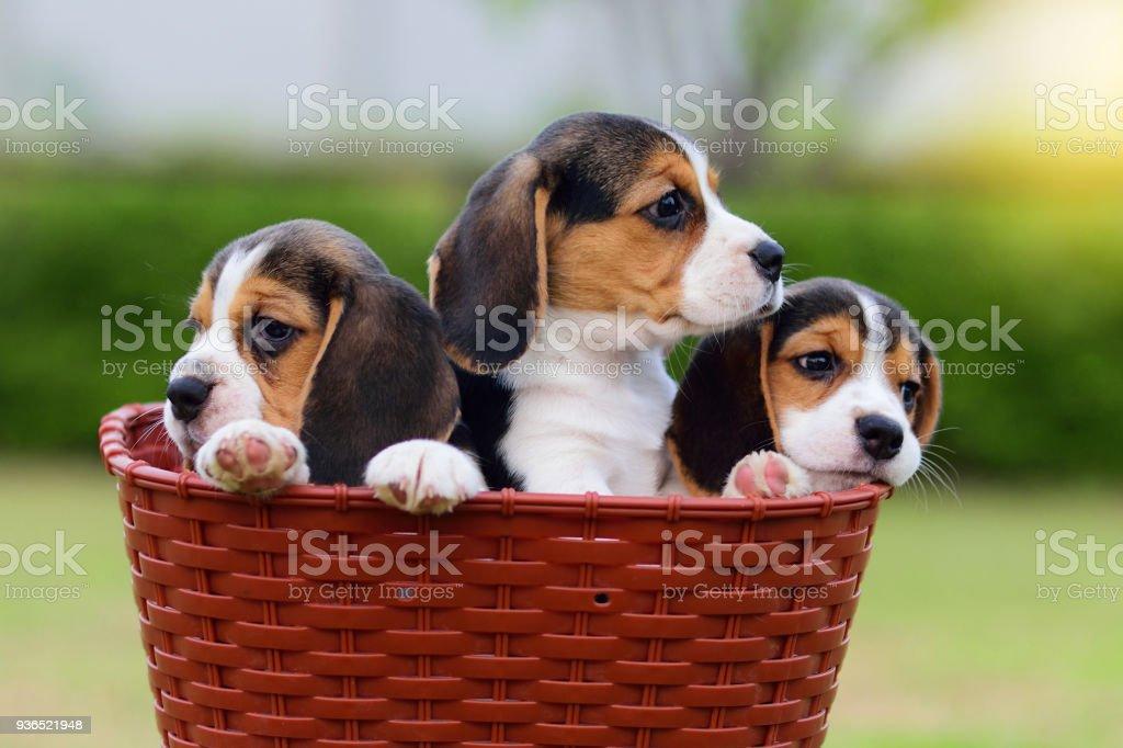 Cute Beagles in basket stock photo