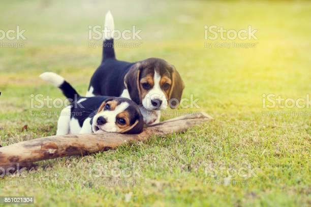 Cute beagles picture id851021304?b=1&k=6&m=851021304&s=612x612&h=pp85ida ljfblejlnvvcl  jkbfereustpwnhl4o8r0=