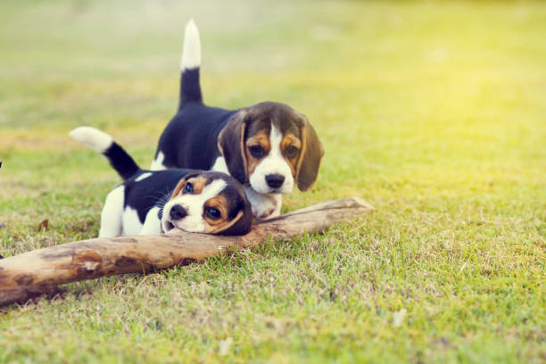 cute beagles - puppy stock pictures, royalty-free photos & images