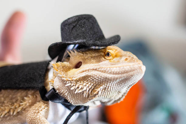 Cute bearded dragon reptile wearing a suit and hat stock photo