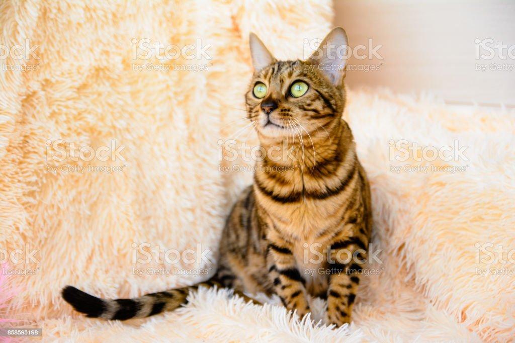cute beautiful Bengal cat on the carpet stock photo