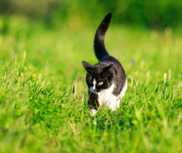 Cute beautiful cat walks on the green grass in the spring bright picture id1040548128?b=1&k=6&m=1040548128&s=612x612&w=0&h=8i6w03m7xlqimwgbqzbhufq m2hbg9 e u2rjsbkawi=