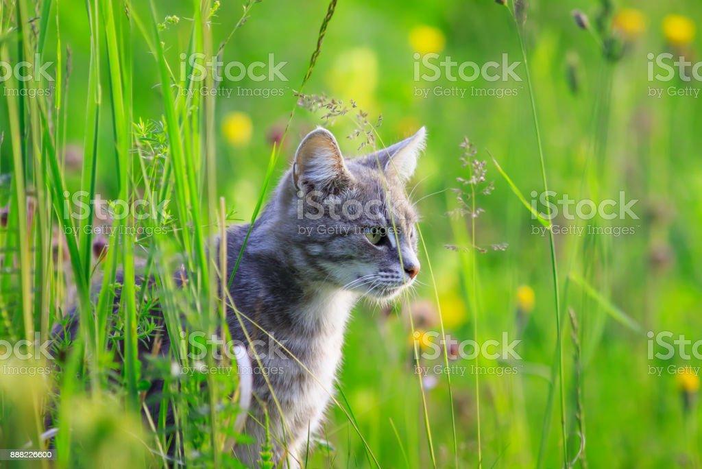caza de Gato lindo hermoso en un prado de hierba verde de verano - foto de stock