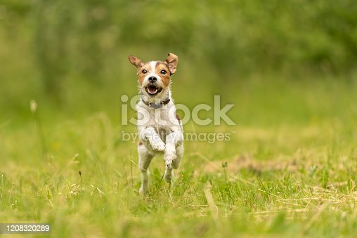 Cute Parson Russell Terrier dog runs over a green meadow in spring