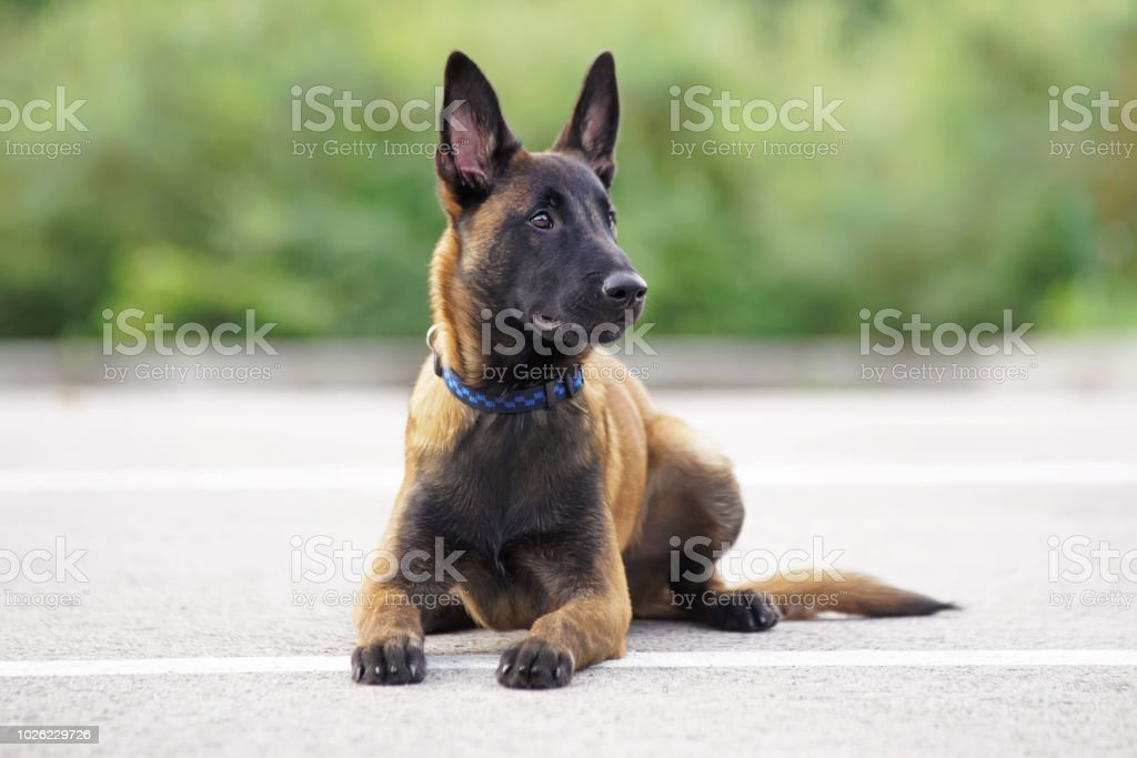 Cute Belgian Shepherd Malinois puppy with a collar lying down on an asphalt in summer stock photo