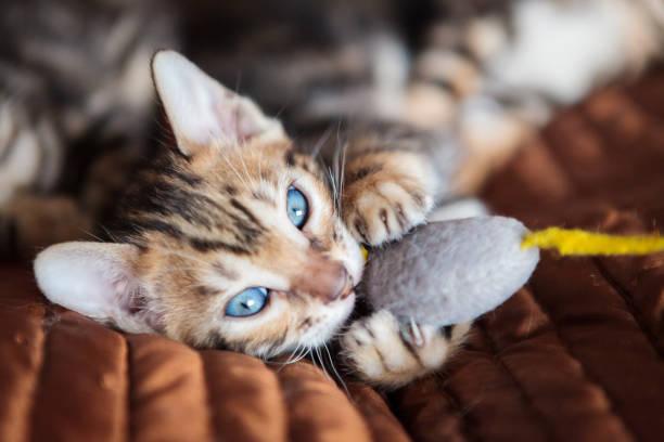 Cute bengal cat kitten at home picture id1140109883?b=1&k=6&m=1140109883&s=612x612&w=0&h=6tzqa726swvclsdv313worace0uxtis jtw6em6oqbe=
