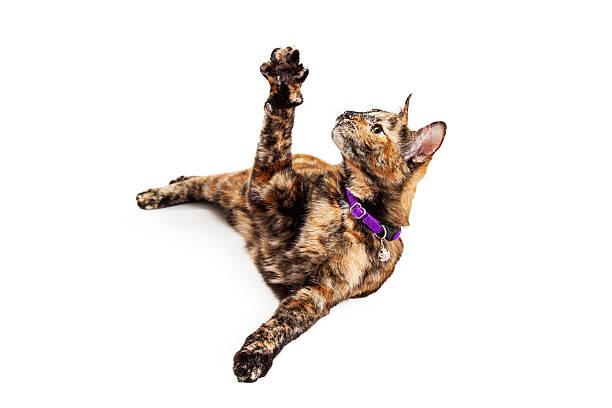 Cute bengal cat raising arm picture id468053782?b=1&k=6&m=468053782&s=612x612&w=0&h=k3jgdlieno r9qc usu0exx3bxhx2xvqzeqtxkckuse=