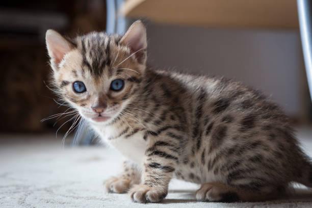 Cute bengal kitten picture id946868800?b=1&k=6&m=946868800&s=612x612&w=0&h= xmqhlqux7rfrzvr  tk6woft59u6maor5sp 0iurdm=