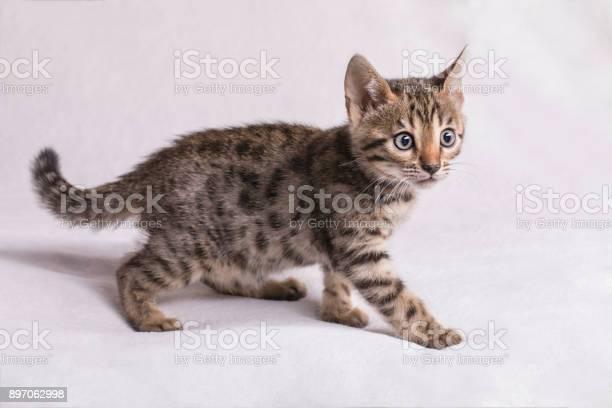 Cute bengal kitten walking picture id897062998?b=1&k=6&m=897062998&s=612x612&h=bvqr dvswop8n1mfe6jfmvlevnvty1qzoejxbug705k=