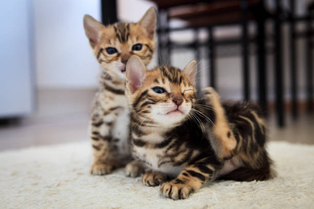 Cute bengal kittens picture id954900208?b=1&k=6&m=954900208&s=612x612&w=0&h=77yc3uviifxgw0ydpo jsfgophvaqdqjcg4yph r1xe=