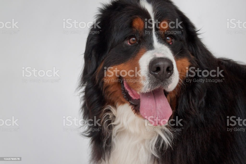 Cute Bernese Mountain Dog Puppy Close Up Berner Sennenhund Or Bernese Cattle Dog Stock Photo Download Image Now Istock