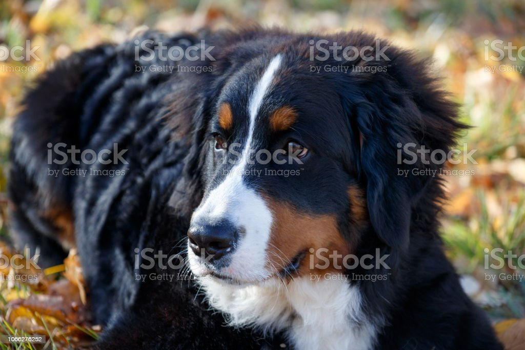 Cute Bernese Mountain Dog Puppy Is Lying In The Autumn