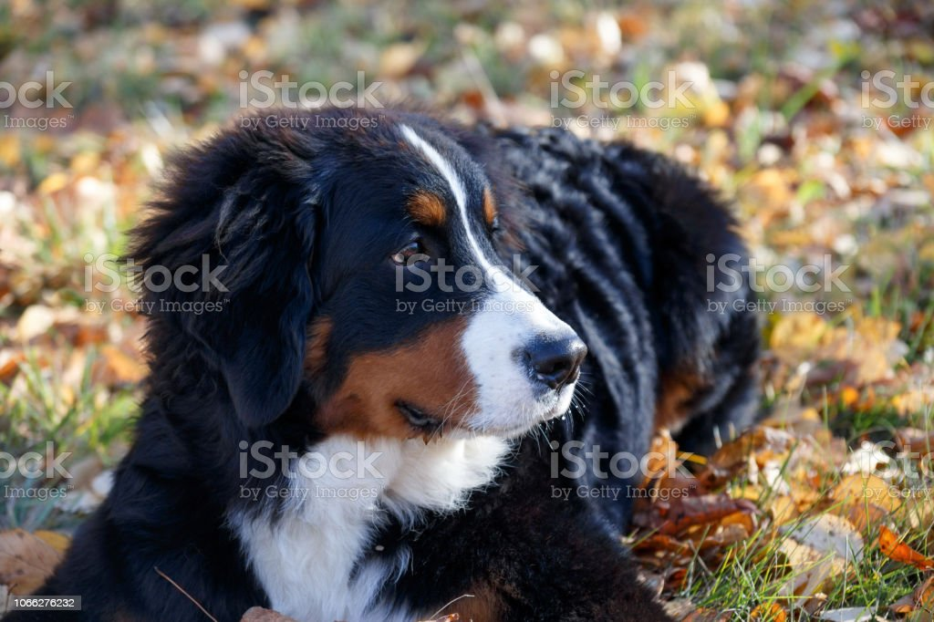 Cute Bernese Mountain Dog Puppy Is Lying On A Autumn Meadow