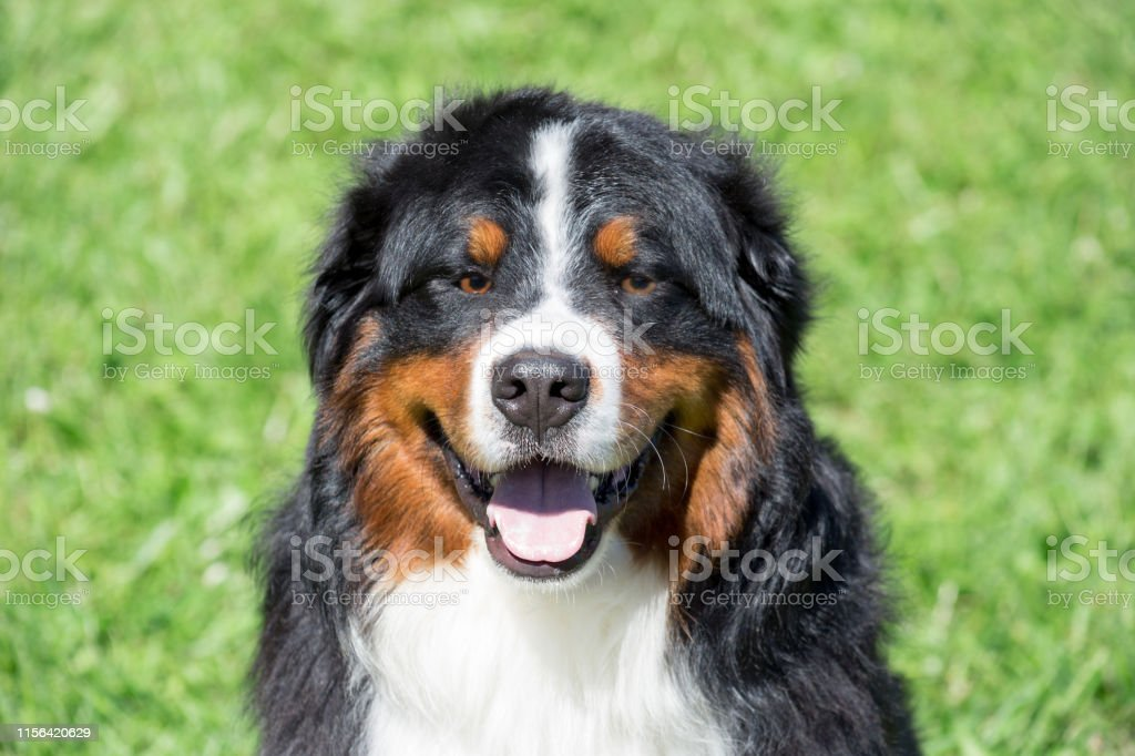 Cute Bernese Mountain Dog Puppy Is Sitting On A Green Grass