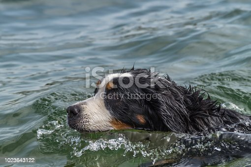 A cute bernese Mountain Dog swimming in a lake on a hot summer Day in Germany. The dog needs a refreshment.