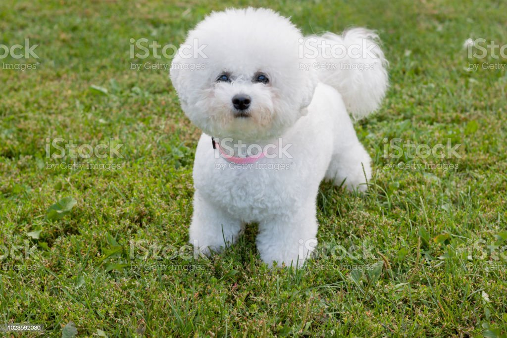 Cute bichon frise is looking at the camera. Pet animals. – zdjęcie