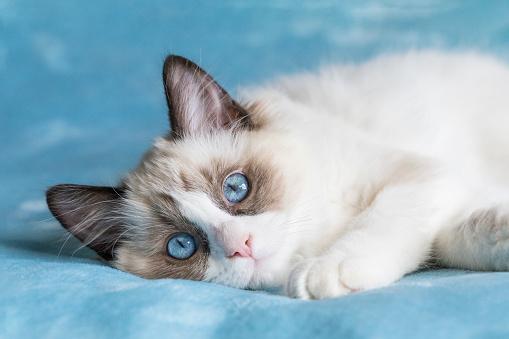 cute bicolor ragdoll kitten picture id975865320?k=6&m=975865320&s=170667a&w=0&h=jhSTBJmEqjaMOs4KiTU6fvG7 SZZq6oG ogGbMKPMTs= - Learning The Secrets About