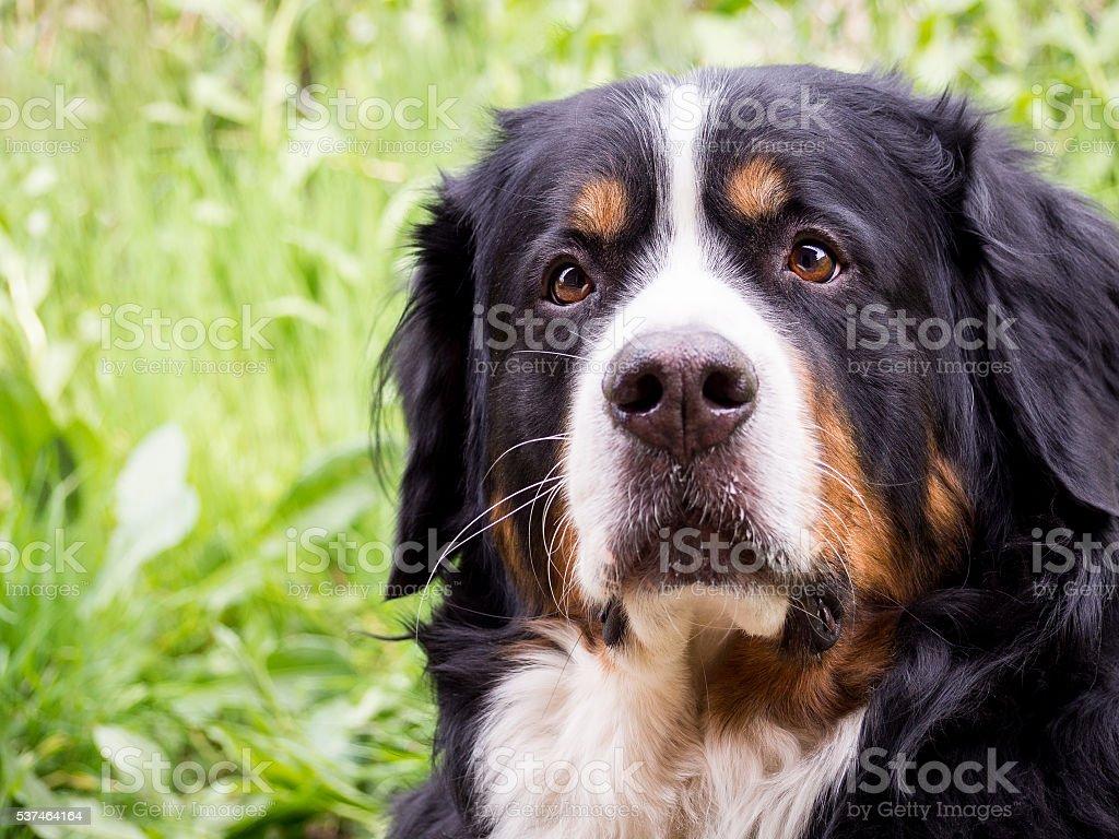 Cute big Greater Swiss Mountain dog - Photo