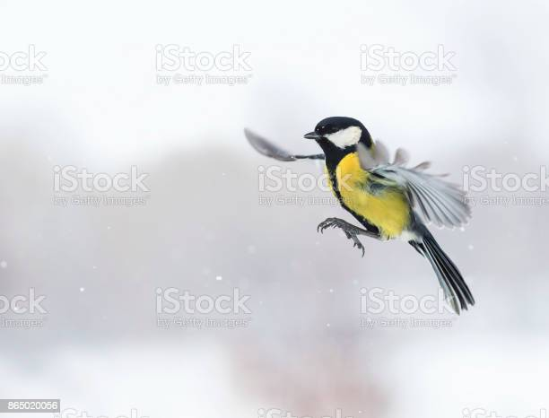 Cute bird flying with its wings outstretched widely among snowfall picture id865020056?b=1&k=6&m=865020056&s=612x612&h=oc1xzb1mx15t8uudwgto26ipp14sxsltwukewx5jbp4=