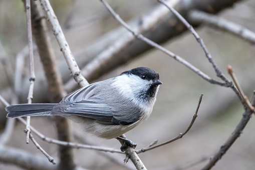 Cute bird The willow tit, song bird sitting on a branch without leaves in the autumn or winter. Willow tit perching on tree in the autumn or winter. The willow tit, lat. Poecile montanus.