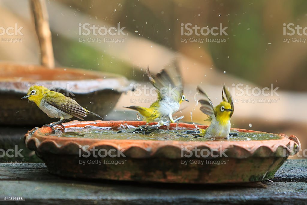 Cute birds bathe in a small pot stock photo