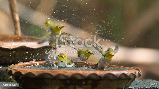 istock Cute birds bathe in a small pot 543041420