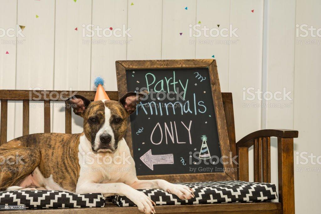 Cute Birthday Dog stock photo