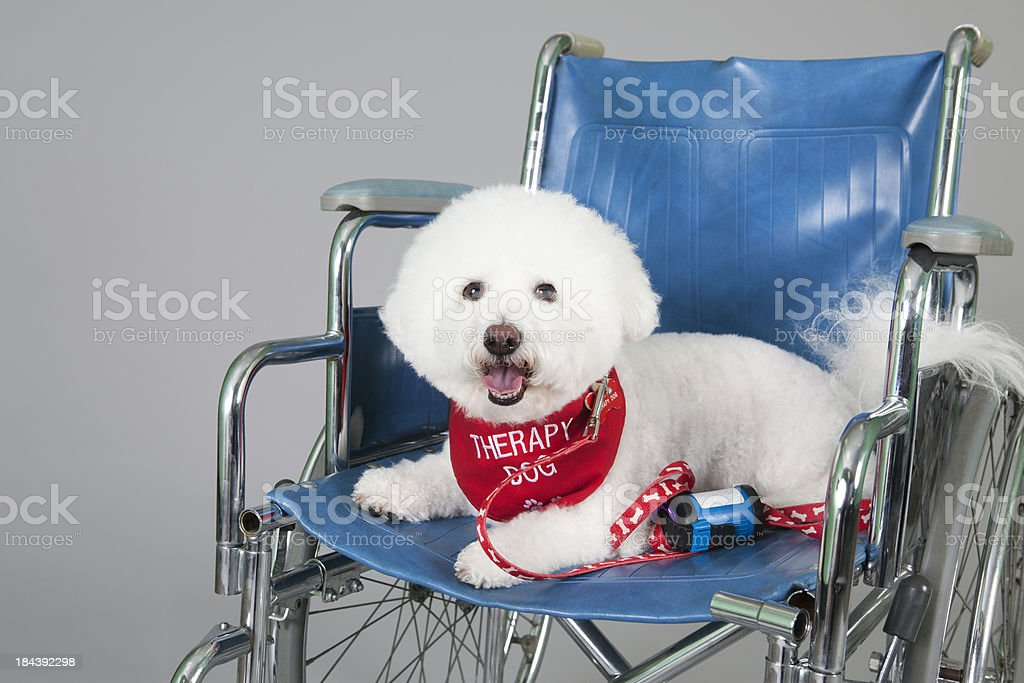 Cute Bischon therapy dog stock photo