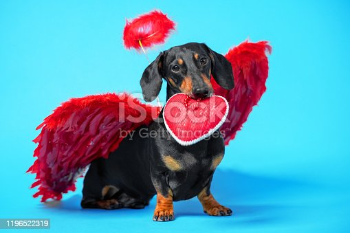 istock Cute black and tan dachshund sitting on bright blue background with crimson red feathered wings on the back and halo under the head and holds a heart-shaped gift in his teeth. Pretty real angel dog. 1196522319
