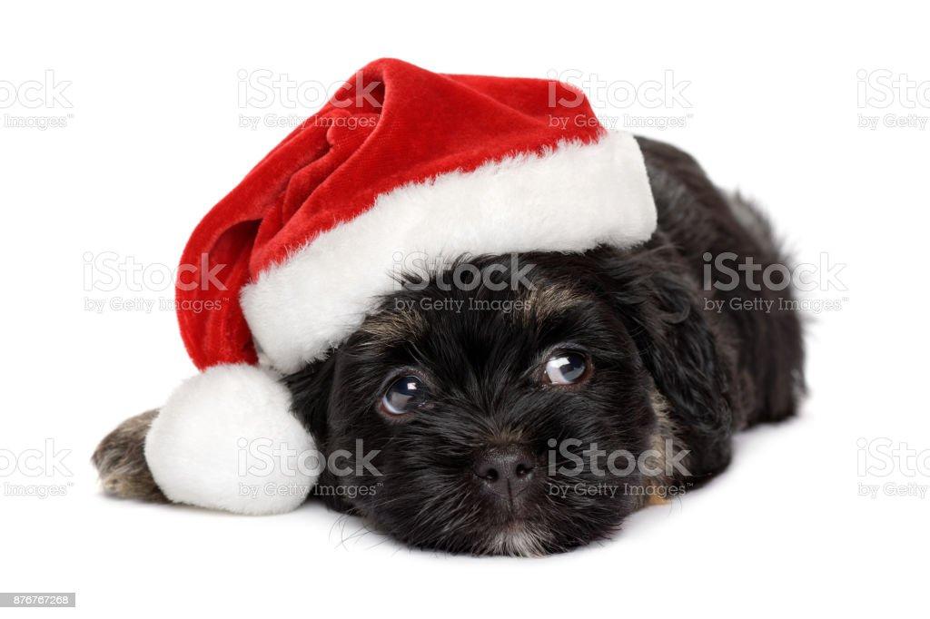Cute black and tan Havanese puppy in Santa hat stock photo