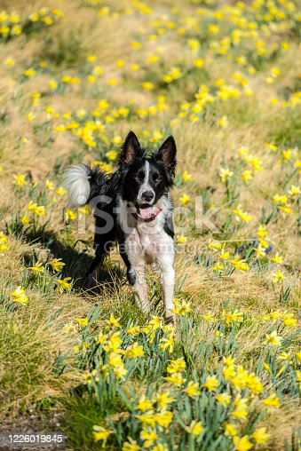 Small cub of red or brown border collie dog in beautiful forest with sunny background.