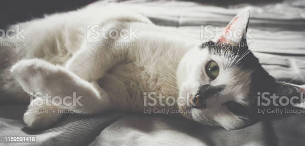 Cute black and white cat looking at camera picture id1159591416?b=1&k=6&m=1159591416&s=612x612&h=yt19fmegevahvhcvn1ye5uzzzao8k6fznueidzu7qf0=