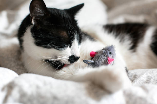 Cute black and white cat with moustache playing with mouse toy and picture id1156635754?b=1&k=6&m=1156635754&s=612x612&w=0&h=2m1buyta9ld4ieu e2j17vhi4ntl6wccfay81pxlpim=