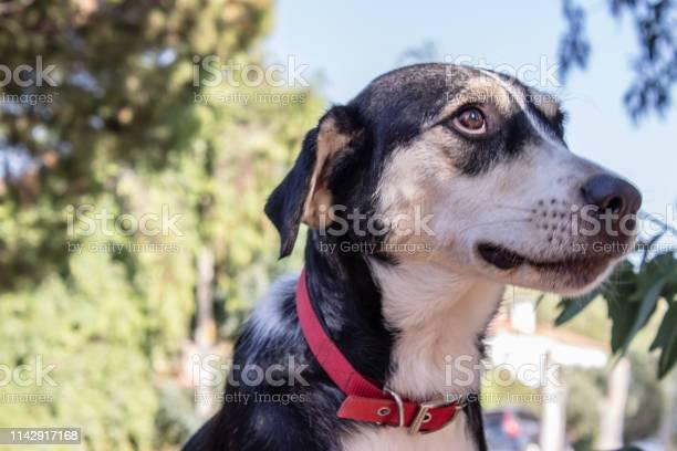 Cute black and white dog looking somewhere picture id1142917168?b=1&k=6&m=1142917168&s=612x612&h=zs5dnypr6qwcl2i joe3nrbeyzhyiifkh7eum9sv41m=
