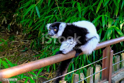Cute black and white lemur close-up on tree across green jungle leaves. Wildlife.