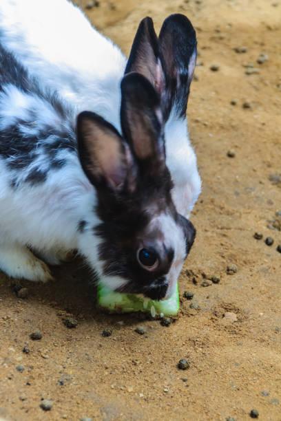 niedliche schwarzen und weiße kaninchen ist in der farm kaninchen essen. kommerzielle kaninchen landwirtschaftlicher betrieb kann eine große quelle zum meetup das essen oder protein bedarf und eine große quelle der beschäftigung. - plüschhase stock-fotos und bilder