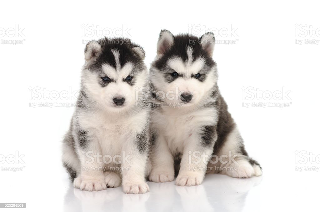 Cute Black And White Siberian Husky Puppy Sitting Stock Photo Download Image Now Istock