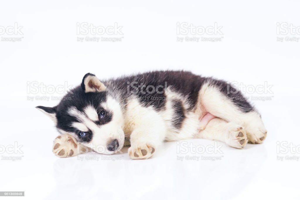 Cute Black And White Siberian Husky Puppy With Different Eyes Lying Indoors On A White Background Stock Photo Download Image Now Istock