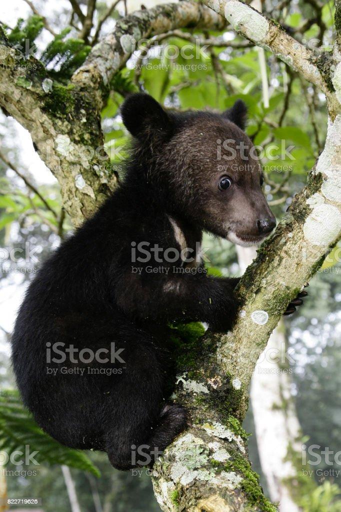 Cute black baby bear is climbing trees. stock photo