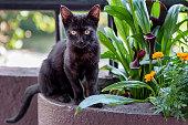 istock Cute black Bombay kitten 877368004