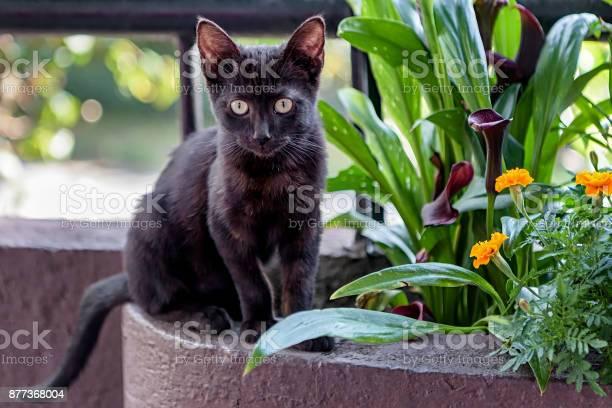 Cute black bombay kitten picture id877368004?b=1&k=6&m=877368004&s=612x612&h=qlyfajpxdx6boqow7t1nn8kyy3cfifcn5cgpnum yn0=