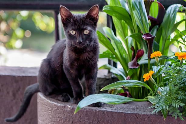 leuk zwart katje van bombay - mumbai stockfoto's en -beelden