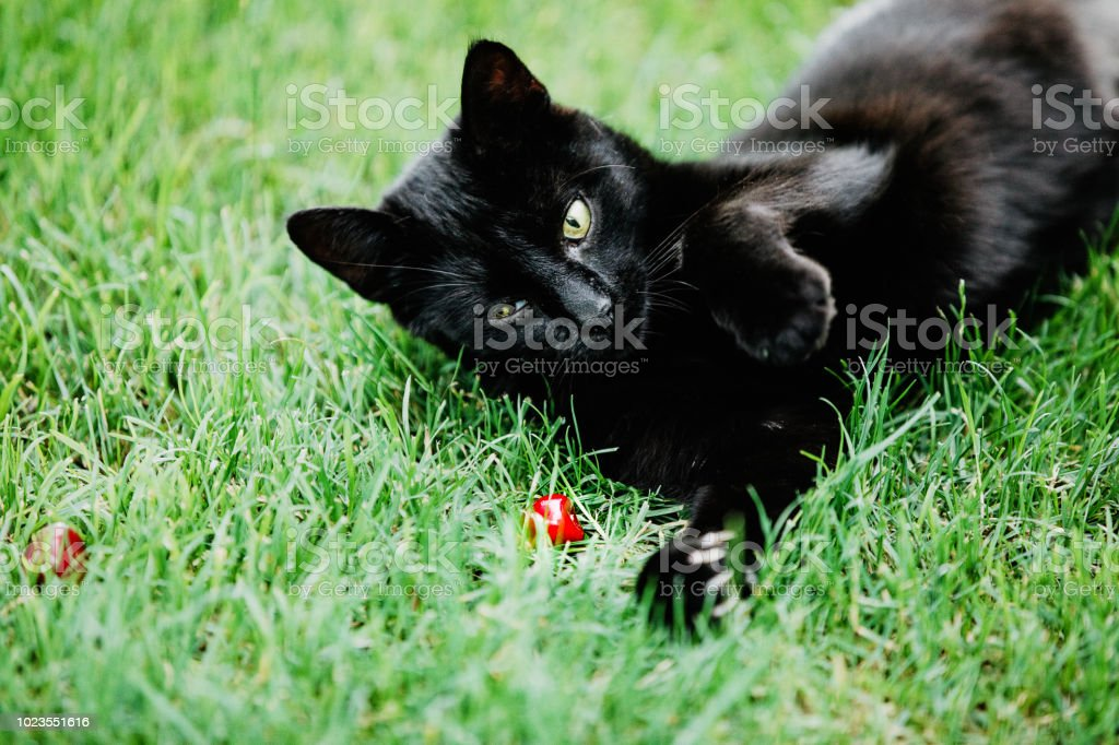 Cute Black Cat Lying On Green Grass And Looking Mistrustfully At Red