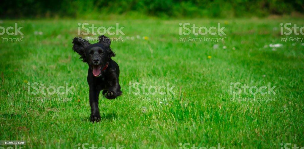 Black puppy dog running across a green field