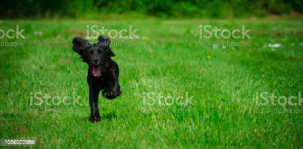 Cute black cocker spaniel puppy with floppy ears and a red collar picture id1056022986?b=1&k=6&m=1056022986&s=612x612&h=rbqvstx7fioxarteu qsggq31ts6bbw9nzxtm5mhsfw=