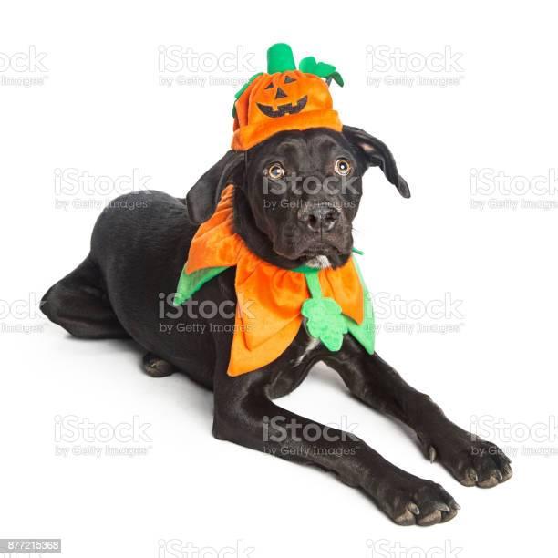Cute black dog in pumpkin costume picture id877215368?b=1&k=6&m=877215368&s=612x612&h=y806uqbu0xbpghklf 2mz4ksked1t8yykjj7igtaq0e=