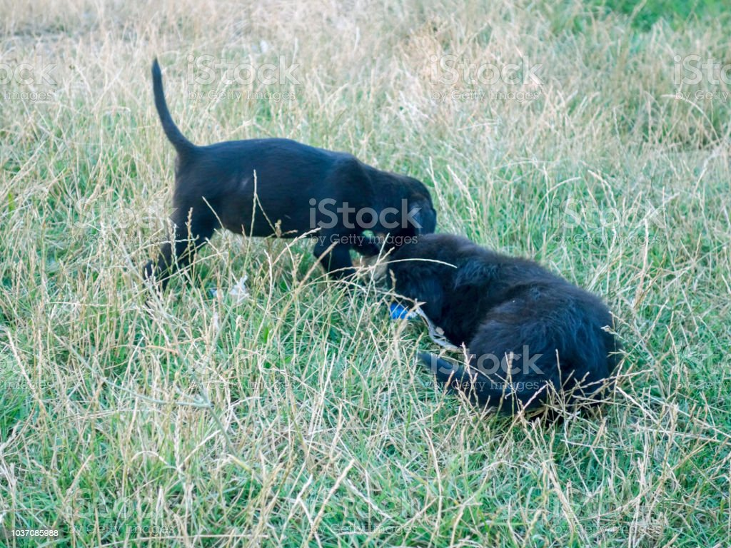 cute black dog playing two games stock photo