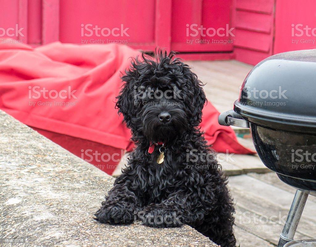 Cute black fluffy dog looking at camera stock photo