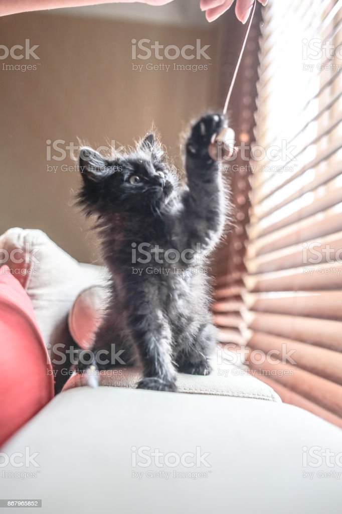 cute black fluffy kitty playing on the sofa stock photo